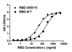 Binding ability measured in a functional ELISA. Compared to 2019-nCoV spike protein RBD (C19SD-G241H), 2019-nCoV spike protein RBD (N501Y) exhibits increased binding potency for immobilized human ACE2 (19-740) protein (A51C2-G341F).