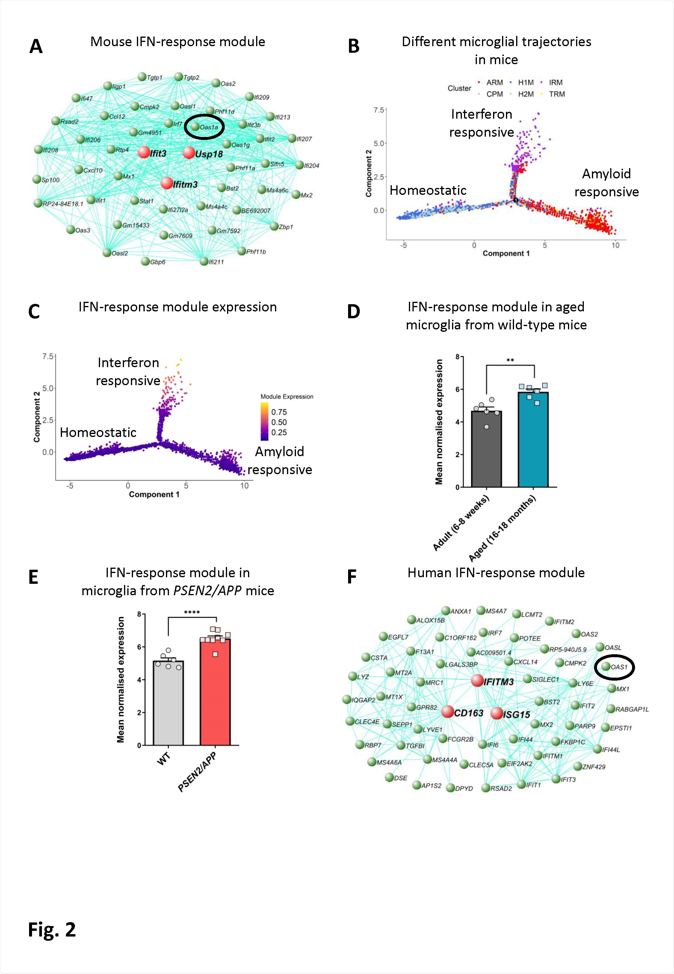 An interferon-response associated gene module is present along a distinct microglial activation trajectory upregulated in aged mice, mice with amyloid pathology and in humans with AD. A) The genetic network containing Oas1a from microglial cells isolated from wild-type and APPNL-G-F KI mice at 3, 6, 12 and 21 months of age analysed by scRNA-seq (Sala Frigerio et al., 2019). The 50 genes showing the highest connectivity are plotted, and Oas1a is highlighted. Green nodes represent genes, edge lines represent coexpression connections, and the central large red nodes are the hub genes (full network given in Table S2). (B) Semi-supervised pseudotime ordering of microglial cells isolated from wild-type and APPNL-G-F KI mice as above based on expression (Sala Frigerio et al., 2019), with Monocle 2, shows homeostatic cells as the root state, and ARM and IRM as the endpoints of distinct activation trajectories. C) The gene module containing Oas1a is upregulated along the IRM-associated activation trajectory. The expression of this module is relatively absent from both the root homeostatic state and the ARM trajectory. D) Mean normalised expression of the 60 most central genes in the interferon response module is greater in microglia isolated from aged wild-type relative to young adult mice (6-8-weeks versus 16-18-months of age;