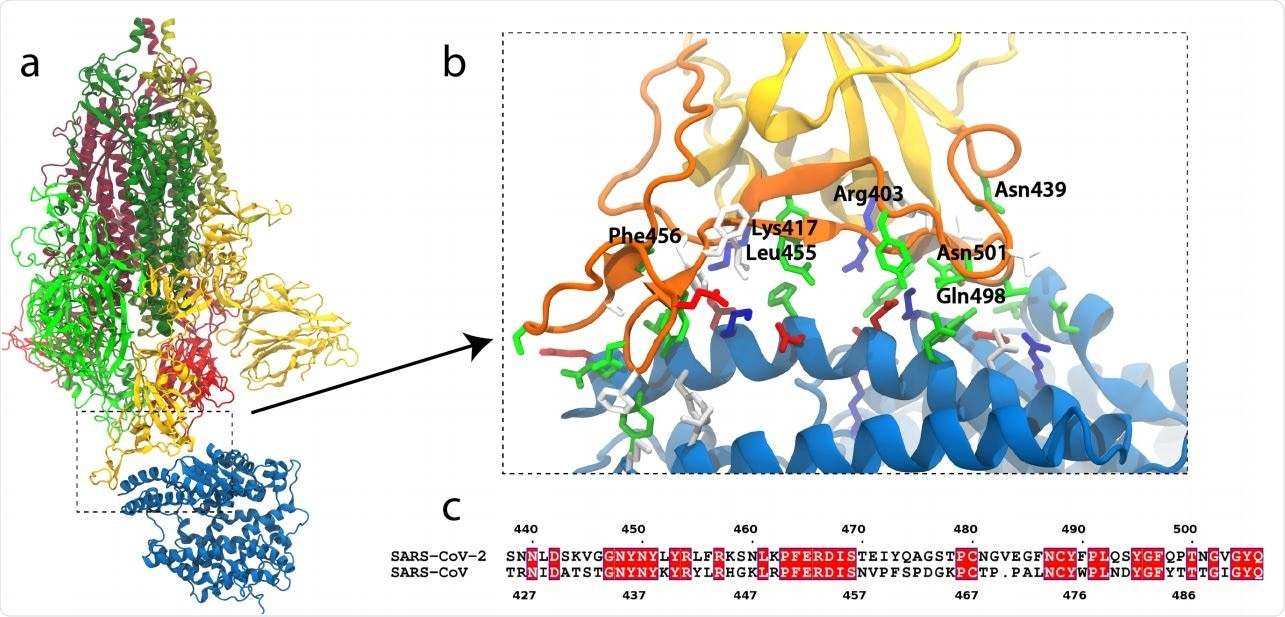 SARS-CoV-2 S-protein binding to ACE2. (a) S-protein trimer (green, yellow, red) bound to the peptidase domain of ACE2 (blue). The lighter and darker shades of the trimer are S1 and S2, respectively. The viral envelope would be at the top and the host cell membrane at the bottom. (b) Close-up of the RBM (orange) interacting with ACE2. Residues near the interface are shown in a stick representation, colored by residue type (blue and red are positively and negatively charged, respectively, green is polar, white is hydrophobic). Specific residues in SARS-CoV-2 are labeled. (c) Alignment of the RBMs of SARS-CoV-2 and SARS-CoV19. Identical residues are white on red background.