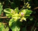 Boerhavia diffusa possess potential therapeutic properties against COVID-19