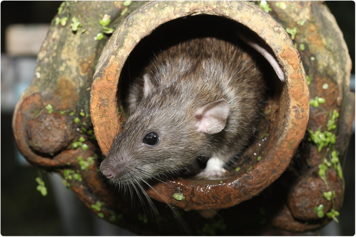Study: SARS-CoV-2 surveillance in Norway rats (Rattus norvegicus) from Antwerp sewer system, Belgium. Image Credit: Erni / Shutterstock