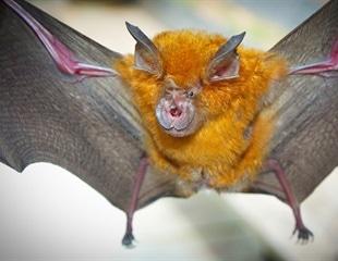 Newly-discovered bat coronavirus 94.5% identical to SARS-CoV-2