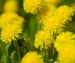 Dandelion extract inhibits SARS-CoV-2 in vitro