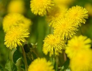 Dandelion extract inhibits SARS-CoV-2 in vitro