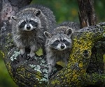 Researchers examine susceptibility of raccoons and striped skunks to SARS-CoV-2 infection
