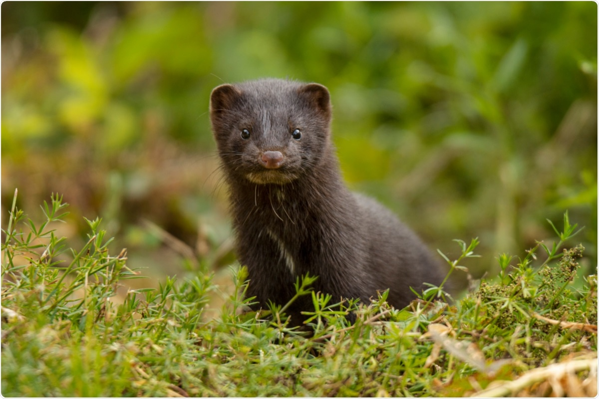 Study: Zoonotic spillover of SARS-CoV-2: mink-adapted virus in humans. Image Credit: An inspiration / Shutterstock