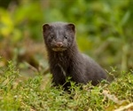 Researchers report zoonotic spillover of adapted SARS-CoV-2 from minks to humans