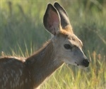 White-tailed deer susceptible to SARS-CoV-2, finds study