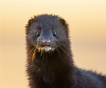 New SARS-CoV-2 genome variants identified in US mink