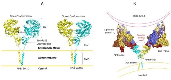 A) Full length structure of ACE2 in open and closed homodimer states. B) Modeled interaction of S trimer to ACE2 dimer during viral infection.