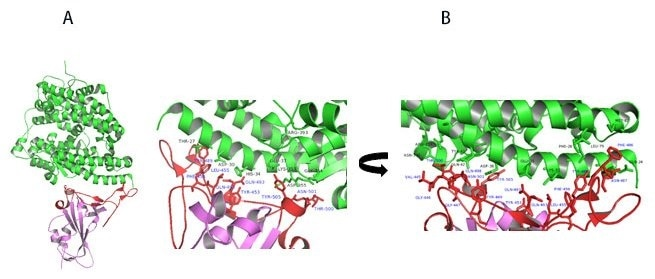 A) Co-crystal of RBD (purple) bound to ACE2(green). B) Polar interaction within the RBM that enable tight binding to ACE2. RBM is colored red. PDB: 6M0J.