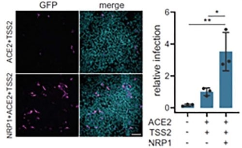Neuropilin-1 and ACE2 co-expression dramatically improves viral entry.