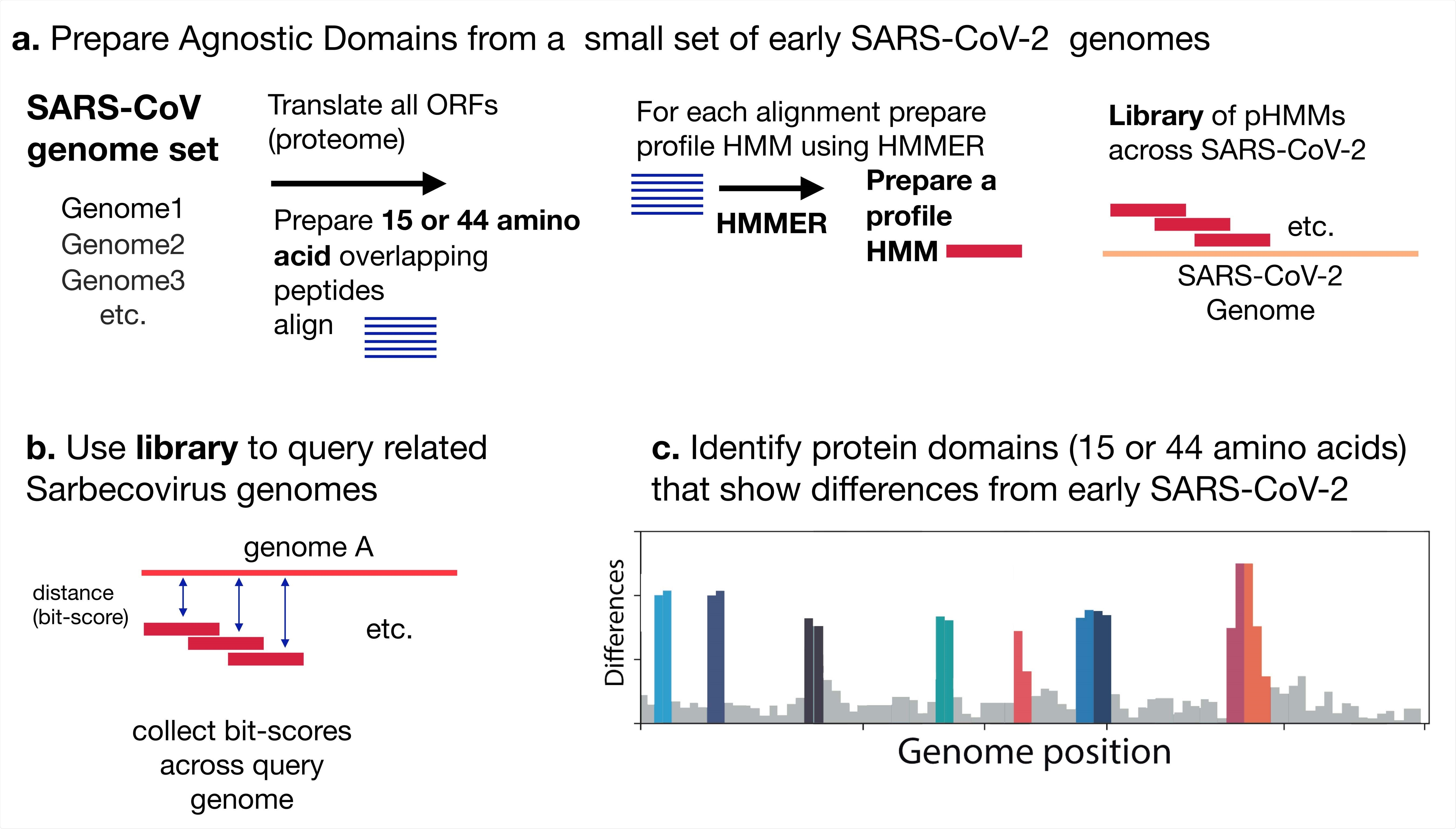 Analysis scheme. (A) Profile Hidden Markov Model (pHMM) domains were generated from a set of 35 early lineage B SARS-CoV-2 genome sequences. All open reading frames were translated and then sliced into either 44 amino acid peptides with a step size of 22 amino acids or 15 amino acid peptides with a step size of 8 amino acid. The peptides were clustered using Uclust (13), aligned with MAFFT (14) and then each alignment was built into a pHMM using HMMER-3 (10). (B) The set of pHMMs were used to query Sarbecovirus genome sequences, bit scores were collected as a measure of similarity between each pHMM and the query sequence. (C) Bit-scores were gathered an analyzed to detect regions that differ between early SARS-CoV-2 genomes and query genomes.
