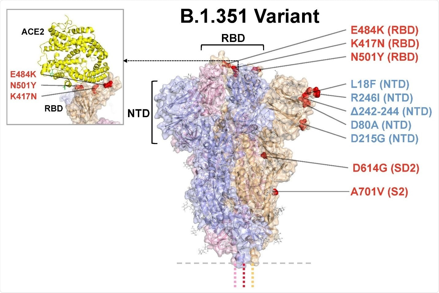 Model of S protein. mRNA-1273.351 encodes the B.1.351 lineage S variant. Surface representation of the trimeric S protein in the vertical view with the locations of surface-exposed mutated residues highlighted in red spheres and labelled on the grey monomer. The inset shows superimposition of ACE-2 receptor domain and the RBD. S protein structure, 6VSB. ACE2-RBD structure, 6M0J. ACE2, angiotensin converting enzyme 2; NTD, N-terminal domain; RBD, receptor binding domain.
