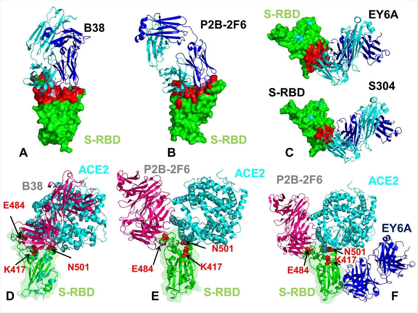 The structures of the SARS-CoV-2 S-RBD complexes with a panel of antibodies used in this study. (A) The structure of the SARS-CoV-2 S-RBD complex with B38 (pdb id 7BZ5). (B) The structure of the SARS-CoV-2 S-RBD complex with P2B-2F6 (pdb id 7BWJ). (C) The structures of the SARS-CoV-2 S-RBD complex with EY6A (pdb id 6ZER,6ZCZ)36 and S304 antibodies. S-RBD is shown in green surface and the binding epitopes are colored in red. The antibodies are shown in ribbons with heavy chain colored in blue and light chain in cyan. (D) Structural superposition of the B38 antibody ( in pink ribbons) and ACE2 host receptor (in cyan ribbons) bound to S-RBD ( in green ribbons and surface with reduced transparency). (E) Structural superposition of the P2B-2F6 antibody ( in pink ribbons) and ACE2 host receptor (in cyan ribbons) bound to S-RBD (in green ribbons). (F) Structural superposition of the P2B-2F6 antibody (in pink ribbons), ACE2 host receptor (in cyan ribbons) and EY6A (in blue ribbons) bound to S-RBD (in green ribbons). The positions are sites K417, E484 and N501 subjected to circulating mutational variants are shown in red spheres and annotated.