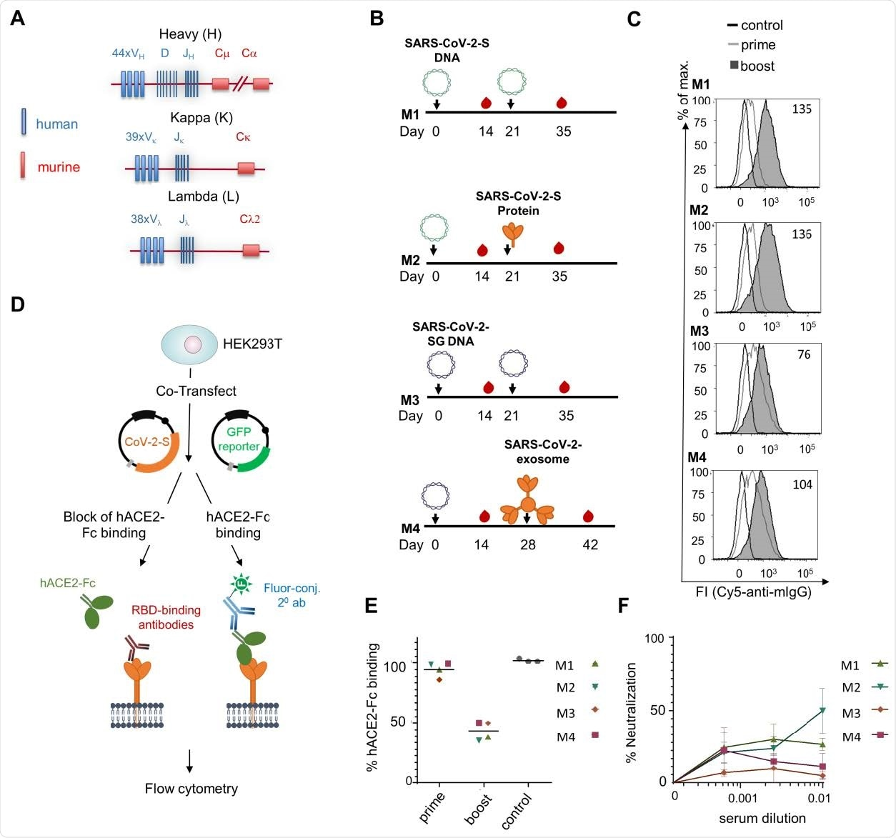 Immunization of TRIANNI mice for induction of SARS-CoV-2 neutralizing antibodies. TRIANNI mice harboring the entire human Ig variable region repertoire (A) were primed by intramuscular electroporation with expression plasmids for wild type SARS-CoV-2-S (M1, M2) or a hybrid SARS-CoV-2-S containing the intracytoplasmic domain of VSV-G (M3, M4) (B) Mice were boosted with the expression plasmids used for priming (M1, M3), soluble trimeric S protein (M2), or exosomes carrying the hybrid SARS-CoV-2-S protein (M4). (C) A flow cytometric assay assessed the binding of sera at a 1:200 dilution to the SARS-CoV-2-S protein with HEK-293T cells transiently expressing the S protein. Numbers indicate the relative mean fluorescence intensities of sera drawn two weeks after the booster immunizations. (D) Scheme of hACE2-Fc competition assay. HEK-293T cells expressing the SARS-CoV-2-S protein were incubated with hACE2-Fc fusion protein in the presence or absence of sera from immunized mice before staining with an AF647-labelled anti-human Fc antibody. (E) Competitive inhibition of hACE2-Fc binding to trimeric S protein by sera (1:200) from control mice and mice at the indicated time points after the first immunization. The mean percentage of binding as compared to control binding is shown (two experiments each performed in triplicates). (F) For the neutralization assay, Vero-E6 cells were infected with the SARS-CoV-2 isolate MUC-IMB-1 in the presence or absence of week 5 sera. SARS-CoV-2 infection was quantitated after 20 to 24 hours by staining with purified IgG from a convalescent COVID-19 patient and a fluorescence-labeled anti-human IgG using an ELISPOT reader. The mean and SEM of triplicates of one experiment are shown.