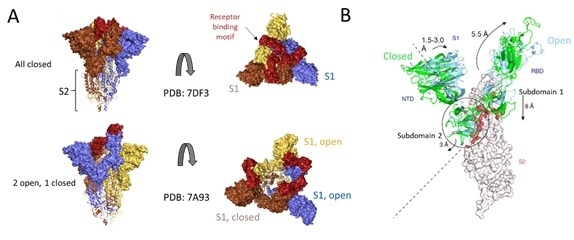 Cryo-EM structure of S trimer. A) Depiction of S1 subunits in open and closed RBD conformation as surface representation and S2 subunits in ribbon form. B) Changes in S1 subunit post ACE2 receptor binding.
