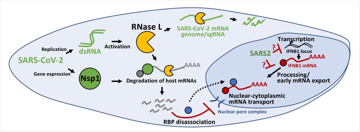 Inhibition of antiviral mRNA biogenesis during SARS-CoV-2 infection. Schematic modeling how antiviral mRNA biogenesis is inhibited during SARS-CoV-2 infection. SARS-CoV-2 replication generates double-stranded RNA (dsRNA), which leads to RNase L activation. RNase L-mediated mRNA decay reduces SARS-CoV-2 full-length mRNA genome and sub-genomic mRNAs. In addition, SARS-CoV-2 expresses the viral Nsp1 protein. Both RNase L activation and Nsp1 expression result in rapid and widespread decay of host basal mRNAs. While RNase L directly cleaves mRNAs, the mechanism of Nsp1-mediated mRNA decay is unclear. The degradation of host mRNAs results in release of RNA-binding proteins (RBPs), and this perturbs late stages of nuclear-cytoplasmic RNA transport. The sequestration of antiviral mRNAs, such as IFNB1 mRNA, in the nucleus prevents their association with ribosomes in the cytoplasm, reducing their translation for protein production. In addition, SARS-CoV-2 inhibits the transcription, an aspect of mRNA processing, or association with early mRNA export factors, and/or rapidly degrades dsRNA-induced antiviral mRNAs, such as IFNB1 mRNA. The result of this is the inability of IFNB1 mRNAs to exit the site of IFNB1 transcription, preventing their transport to the cytoplasm and reducing their translation.
