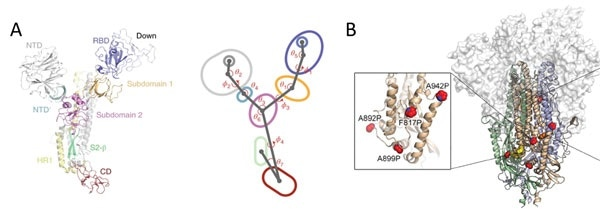 A) S protein is highly dynamic structure with multiple centroid rotating along various angles and dihedrals10. B) 6 Proline mutations in S protein timer stabilizes the prefusion state.