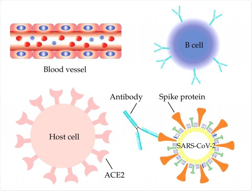 SARS-CoV-2 S protein antibodies are secreted by B cells in aiming to compete with the host ACE2 for binding to the S protein RBD