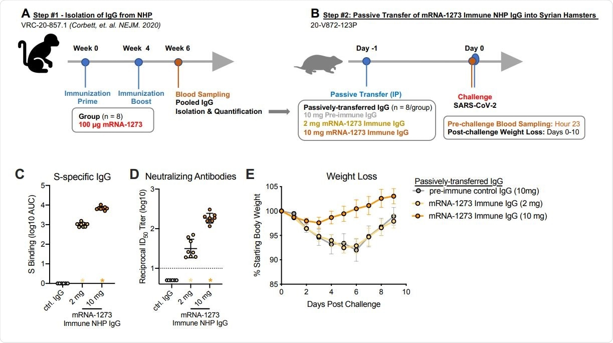 Passive transfer of mRNA-1273 immune NHP IgG into Syrian hamsters. (A) Sera were pooled from all NHP that received 100 µg of mRNA-1273 in a primary vaccination series. (B) mRNA-1273 immune NHP IgG (2 mg, yellow or 10 mg, orange) or pre-immune NHP IgG (10 mg, gray) was passively transferred to Syrian hamsters (n = 8/group) 24 hours prior to SARSCoV-2 challenge. Twenty-three hours post-immunization, hamsters were bled to quantify circulating S-specific IgG (C) and SARS-CoV-2 pseudovirus neutralizing antibodies (D). Following challenge, hamsters were monitored for weight loss (E). (C-D) Circles represent individual NHP. Bars and error bars represent GMT and geometric SD, respectively. Asterisks at the axis represent animals that did not receive adequate IgG via passive transfer and were thus excluded from weight loss analyses. (D) The dotted line indicates the neutralization assay limit of detection. (E) Circle and error bars represent mean and SEM, respectively.