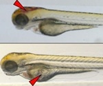 Could Zebrafish larvae be a novel animal model for SARS-CoV-2?