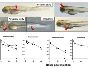 Could Zebrafish larvae be a novel animal model for SARS-CoV-2?