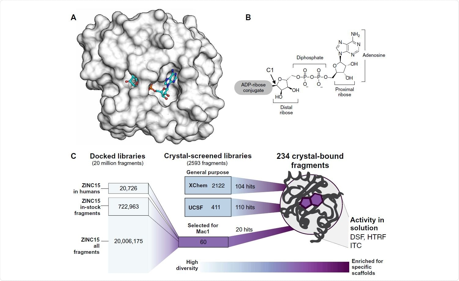 Overview of the fragment discovery approach for SARS-CoV-2 Nsp3 Mac1 presented in this study. (A) Surface representation of Nsp3 Mac1 with ADPr bound (cyan) in a deep and open binding cleft. (B) Nsp3 Mac1 has (ADP-ribosyl)hydrolase activity, which removes ADP-ribosylation modifications attached to host and pathogen targets. ADPr is conjugated through C1 of the distal ribose. (C) Summary of the fragment discovery campaign presented in this work. Three fragment libraries were screened by crystallography: two general-purpose [XChem and University of California San Francisco (UCSF)] and a third bespoke library of 60 compounds, curated for Mac1 by molecular docking of more than 20 million fragments. Crystallographic studies identified 214 unique fragments binding to Mac1, while the molecular docking effort yielded 20 crystallographically confirmed hits. Several crystallographic and docking fragments were validated by isothermal titration calorimetry (ITC), differential scanning fluorimetry (DSF), and a HTRF-based ADPr-peptide displacement assay.