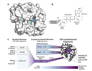 Numerous agents with anti-SARS-CoV-2 potential discovered with crystallographic screening