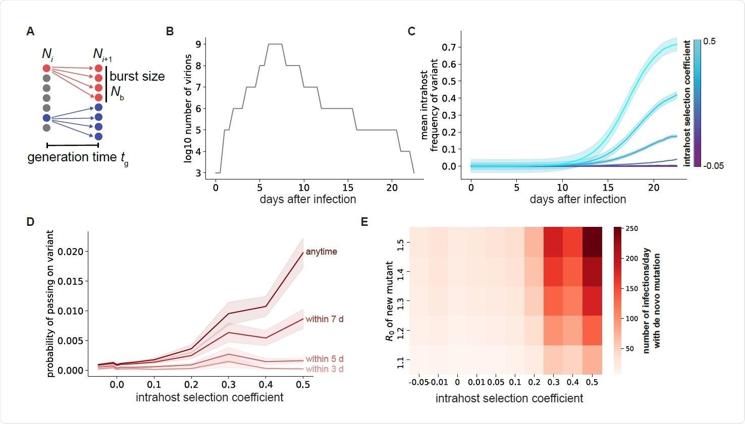 La selección dentro de los individuos con COVID-19 conduce a la selección de variantes virales más aptas.  A. Esquema del modelo de replicación viral utilizado para simular la dinámica evolutiva del SARS-CoV-2.  B. Curva de carga viral del esputo para una infección típica por COVID-19.  El eje x representa el tiempo a partir del evento de transmisión inicial que inició la infección.  C. Frecuencia media de variantes con mutaciones puntuales en individuos con COVID-19 para diferentes efectos de aptitud de mutación (colores).  D. Probabilidad de que una sola mutación específica esté presente en al menos un virión transmitido si la transmisión ocurre dentro de los primeros 3-7 días de la infección (curvas rojas más claras) o en cualquier momento durante la infección (rojo más oscuro).  Para C y D, las áreas sombreadas representan ± SEM,
