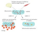 Japanese–European scientists detect novel genetic mitochondrial disorder