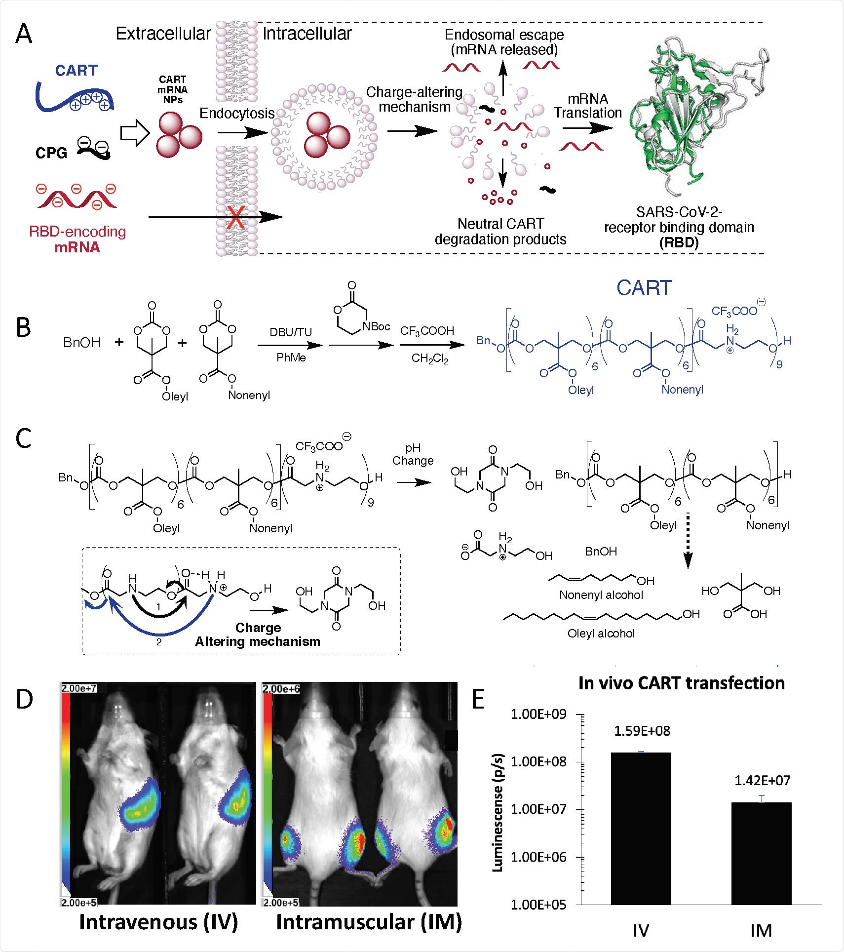 CART delivery platform methodology effectively complexes, delivers and releases mRNA via both systemic and local administration (A) CART electrostatic formulation, cellular uptake, endosomal escape, and translation of SARS-CoV-2 RBD mRNA (B) CART synthesis via ring-opening polymerization (DBU=1,8- Diazabicyclo[5.4.0]undec-7-ene,