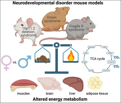 Metabolic dysfunction found in mouse models of neurodevelopmental disorders