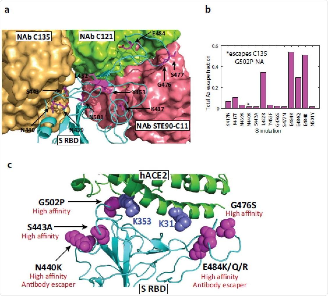 Mutaciones de alta afinidad y sitios de unión de anticuerpos en Spike RBD.  (a) Estructura de WT S RBD superpuesta con tres estructuras de anticuerpos neutralizantes (C121, 7K8X; C135, 7K8Z; STE90-C11, 7B3O).  Se destacan los residuos que se predice que albergan variantes de alta afinidad y mutaciones de propagación rápida, lo que ilustra que las mutaciones en los sitios de unión de anticuerpos tienen el potencial de reducir su eficacia.  Las estructuras de los anticuerpos C135 y STE90-C11 unidos se superponen parcialmente.  (b) Escape de anticuerpos de mutaciones medido usando la fracción de escape total, es decir, la suma de todas las fracciones de escape a través de 10 anticuerpos probados usando mutagénesis profunda.  (c) Resumen de mutaciones significativas de alta afinidad en las proteínas S y hACE2 y sus implicaciones funcionales.