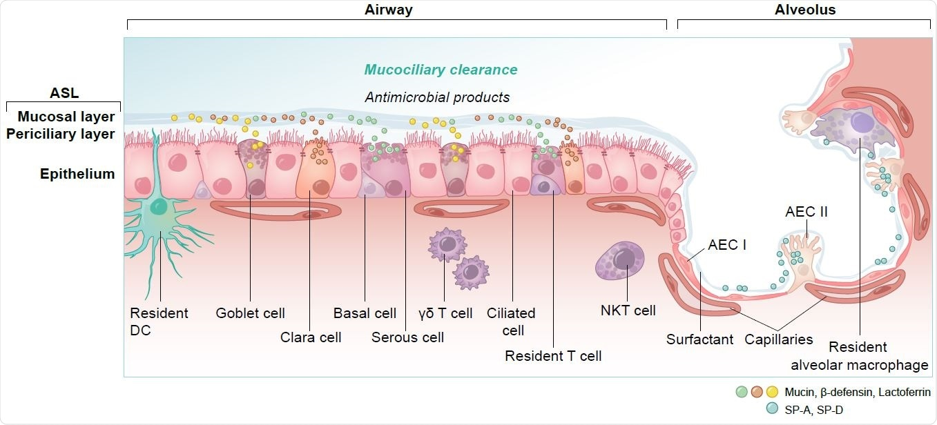 Overview of cell types and innate immunity in the epithelium of the lung. DC = dendritic cell, NKT = natural killer T cell, γδ T = gamma delta T cell, AEC I and AEC II = alveolar epithelial cells, SP-A, SP-D = surfactant protein A and D.