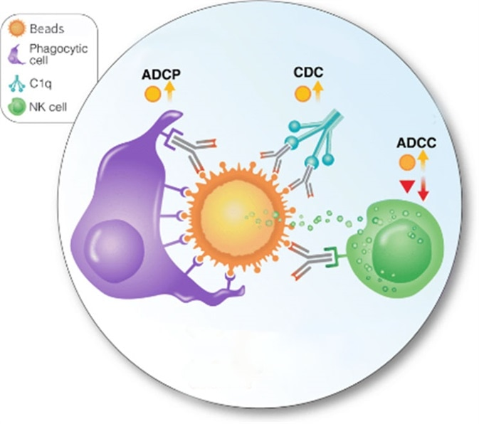 Antibody-mediated cellular phagocytosis (ADCP) of protein-coupled beads.