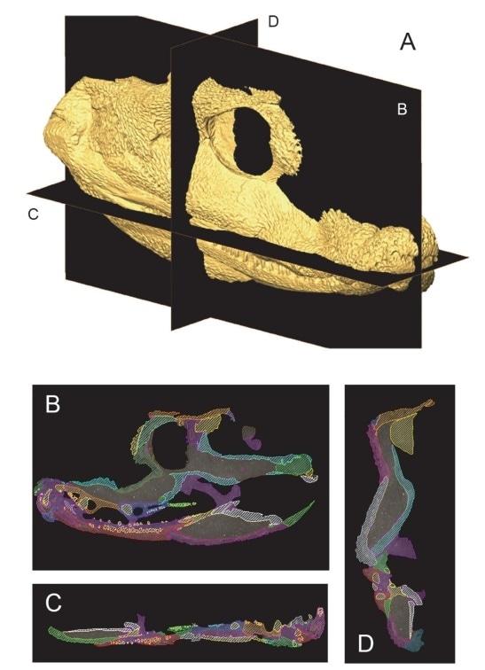 Segmentation of CT data of the extinct tetrapod Acanthostega gunnari. Ref: Porro LB, Rayfield EJ, Clack JA (2015) Descriptive Anatomy and Three-Dimensional Reconstruction of the Skull of the Early Tetrapod Acanthostega gunnari Jarvik, 1952. PLoS ONE 10(3): e0118882.