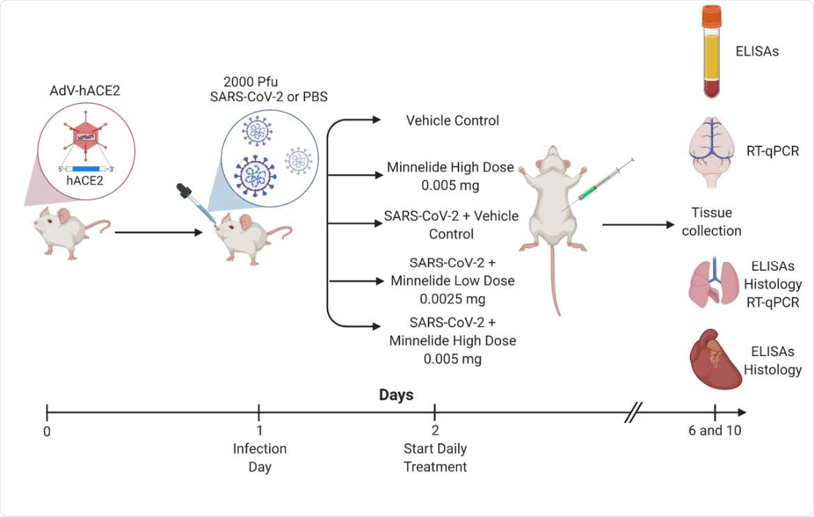 Experimental Schematic of Infection and Treatment of K18-hACE2 Mice. K18- hACE2 were infected with 2000 PFU on day 1 or given PBS intranasally. Daily treatments of Minnelide started on day 2 via intraperitoneal (IP) injections with either vehicle control (PBS), Minnelide low dose (0.0025mg/day or high dose (0.005mg/day). On days 6 and 10, tissues were extracted for ELISAs, RT-qPCR, or Histology.