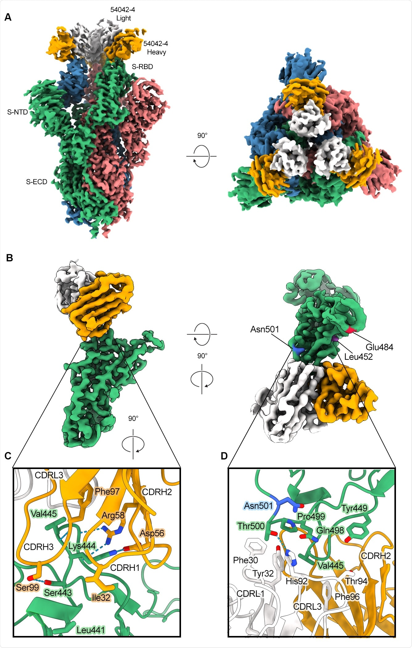 Atomic resolution of 54042-4 binding mode to SARS-CoV-2 S (A) 3D reconstructions of side and top views of Fab 42-4 bound to SARS-CoV-2 spike. (B) Focused refinement maps showing the 54042-4 epitope at the apex of the RBM in the down position (left). Top-down view of the 54042-4 epitope showing heavy and light chain contacts, as well as residues outside of the binding interface that are mutated in circulating VOCs (right).