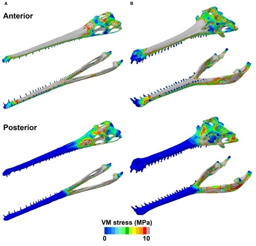 Von Mises stress distribution plots of the skulls of Pelagosaurus (A) and Gavialis (B), simulating a unilateral biting scenario at the anterior and posterior tooth positions. Grey areas represent von Mises stress values higher than 10 MPa. Ref: Ballell, A., Moon, B.C., Porro, L.B., Benton, M.J. and Rayfield, E.J. (2019), Convergence and functional evolution of longirostry in crocodylomorphs. Palaeontology, 62: 867-887.