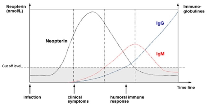 Schematic time course of neopterin concentration in blood, in relation to antibody presence due to viral infection