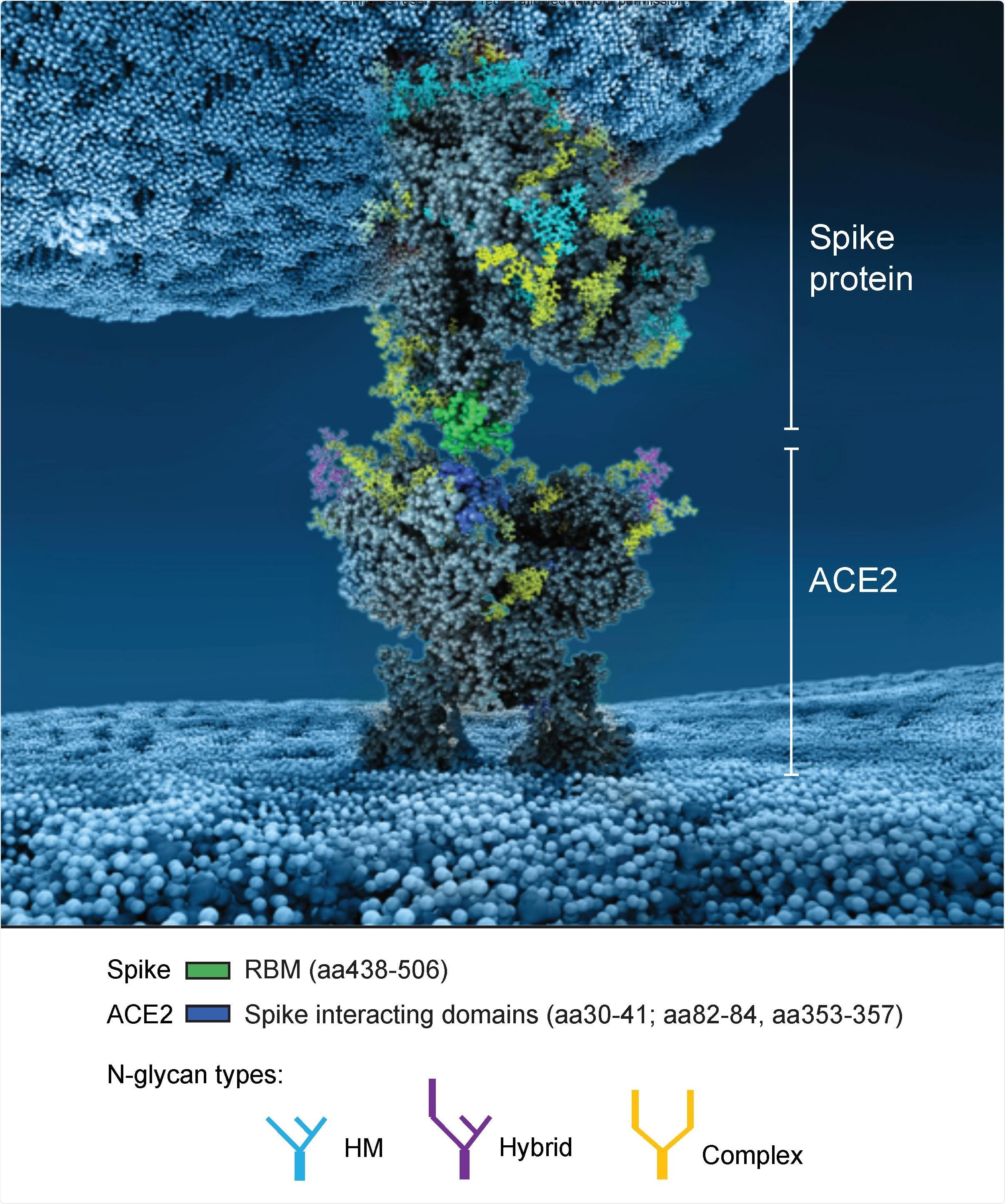Reconstrução atomística do ponto glycosylated de SARS-CoV-2 que interage com seu receptor glycosylated ACE2. A interacção entre um ponto na conformação aberta e ACE2 é representada. Os domínios obrigatórios no ponto e no ACE2 envolvidos na interacção são coloridos em verde e em azul respectivamente. Note que não todos os glycans estam presente no ponto aberto (veja métodos para detalhes).