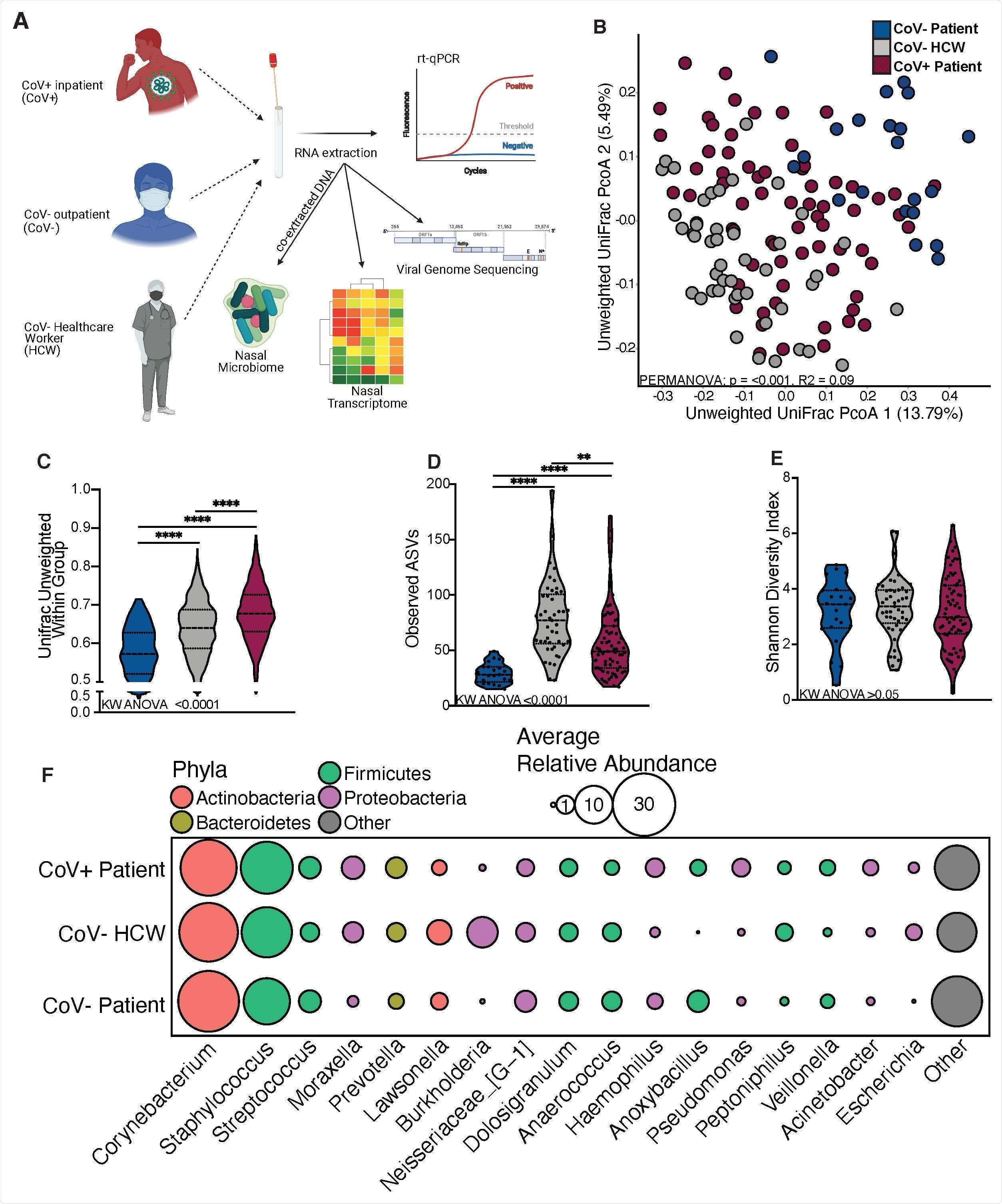 O microbiome nasal de pacientes contaminados SARS-CoV-2 é distinto. (a) Diagrama esquemático do projecto do estudo. (b) análise da Principal-coordenada de distância unweighted de UniFrac dos communitues microbianos nasais colorida pelo estado do anfitrião. A contribuição do estado do anfitrião a variação total nas matrizes unweighted da dissimilitude de UniFrac foi medida usando PERMANOVA (Adonis com 10.000 permutações). (C, D, E) lote do violino ilustrando (d) o número unweighted médio das distâncias de UniFrac (c) de amplicon observado que arranja em seqüência variações e (d) a separação da diversidade do shannon (e) pelo estado do anfitrião. O significado para o C-E dos painéis era determinado usando Kruskal Wallis ANOVA não-paramétrico (inserir dos p-valores na parte inferior de cada painel), com comparação múltipla de Dunn * = p < 0,05, ** = p <0.01, *** = p < 0,001, **** = p < 0,0001. (f) Lotes da bolha dos géneros bacterianos encontrados na abundância média maior de 1% através da população inteira do estudo pedida da esquerda para a direita em abundância média descendente. O tamanho de cada círculo indica que a abundância relativa média para o cada taxa no grupo denotado e na cor de cada círculo denota que filos bacterianos cada os géneros pertencem.