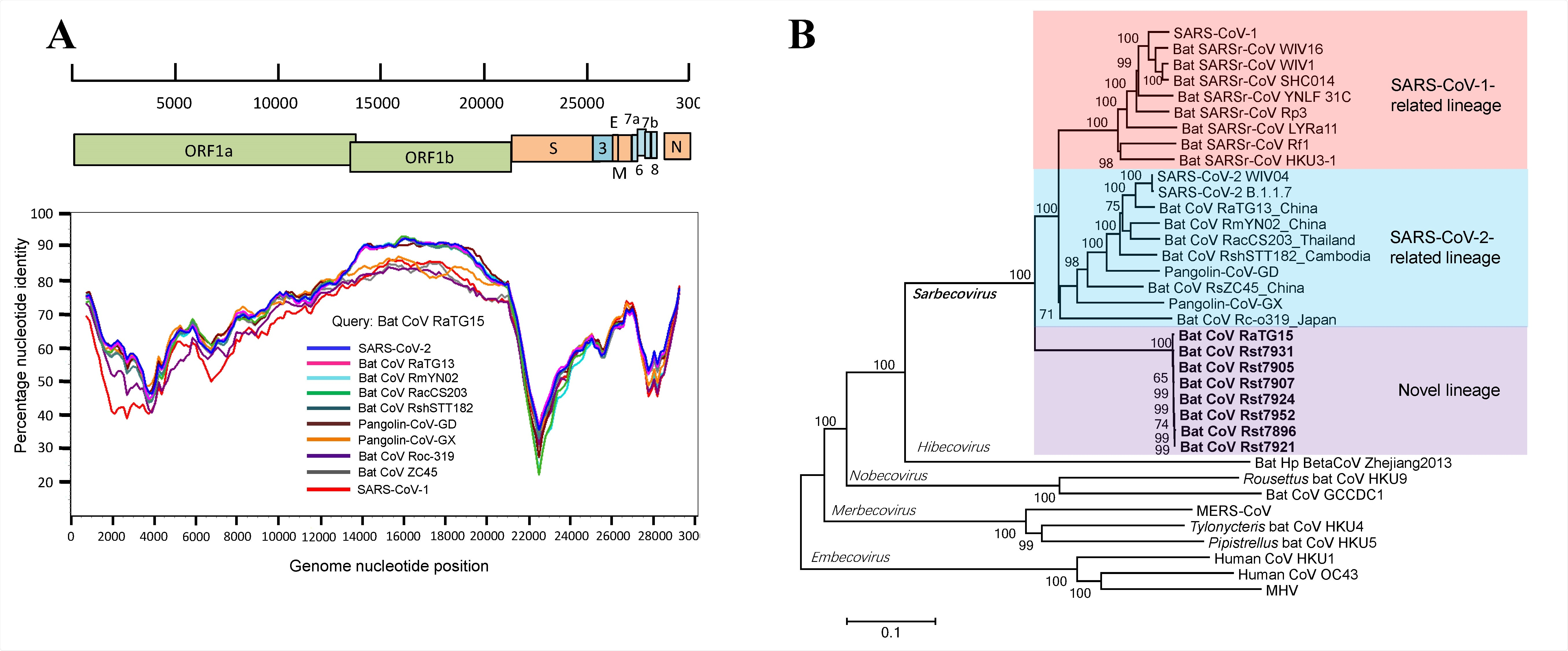 Discovery of a novel lineage of bat SARSr-CoVs. (A) Similarity plot analysis based on the full-length genome sequence of bat SARSr-CoV RaTG15. Full409 length genome sequences of SARS-CoV-1, SARS-CoV-2, bat and pangolin CoVs related to SARS-CoV-2 were used as reference sequences. The analysis was performed with the Kimura model, a window size of 1500 base pairs and a step size of 150 base pairs. (B) Phylogenetic tree based on complete genome sequences of betacoronaviruses. The trees were constructed by the Neighbour-joining method using the Jukes-Cantor model with bootstrap values determined by 1000 replicates. Bootstraps /> 50% are shown. The scale bars represent 0.1 substitutions per nucleotide position. The novel SARSr-CoVs characterized in this study are shown in bold. Ra, Rhinolophus affinis; Rst, Rhinolophus stheno; Rsh, Rhinolophus shameli; Rs, Rhinolophus sinicus; Rac, Rhinolophus acuminatus; Rm, Rhinolophus malayanus; Rc, Rhinolophus cornutus; MHV, murine hepatitis virus.