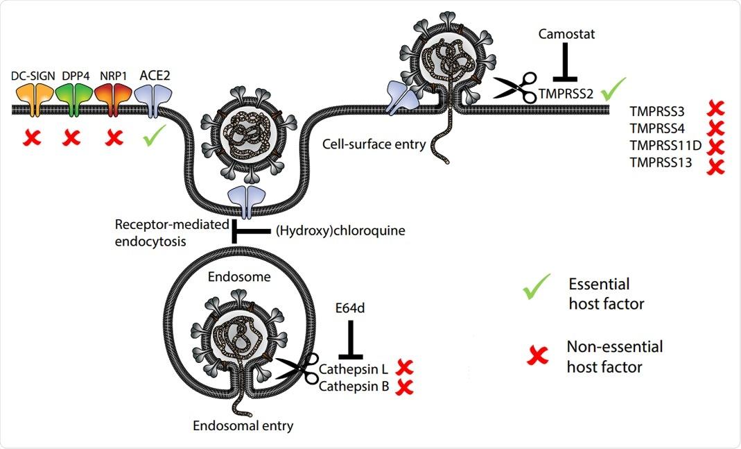 Modelo de receptores y proteasas de entrada del huésped implicados en la entrada de SARS-CoV-2.  Los factores del huésped esenciales y no esenciales basados en los fenotipos en los mutantes IO están marcados