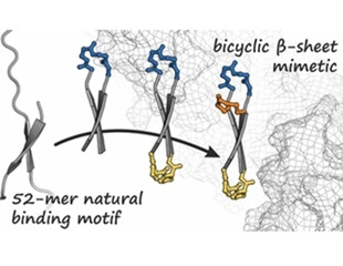 Researchers develop a hairpin-shaped bicyclic peptide to fight cancer