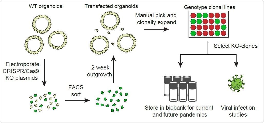 Descripción general del flujo de trabajo de generación de knockouts de genes.