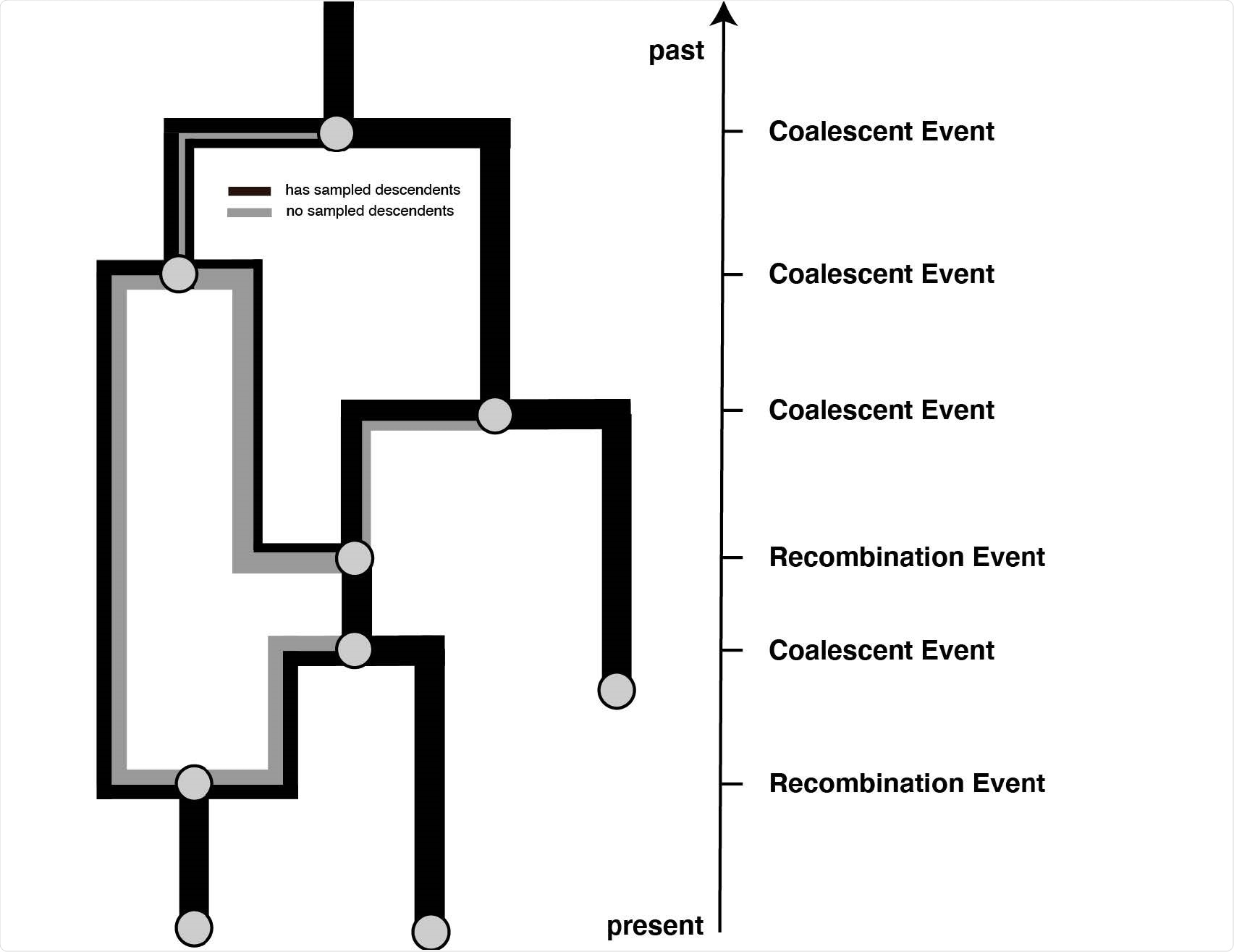 Example recombination network. Events that can occur on a recombination network as considered here. We consider events to occur from present backwards in time to the past (as is the norm when looking at coalescent processes. Lineages can be added upon sampling events, which occur at predened points in time and are conditioned on. Recombination events split the path of a lineage in two, with everything on one side of a recombination breakpoint going in one and everything on the other side of a breakpoint going in the other direction.