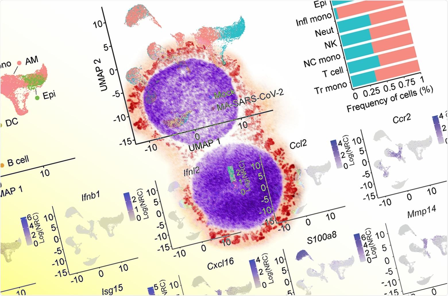 Study: CCR2-dependent monocyte-derived cells restrict SARS-CoV-2 infection