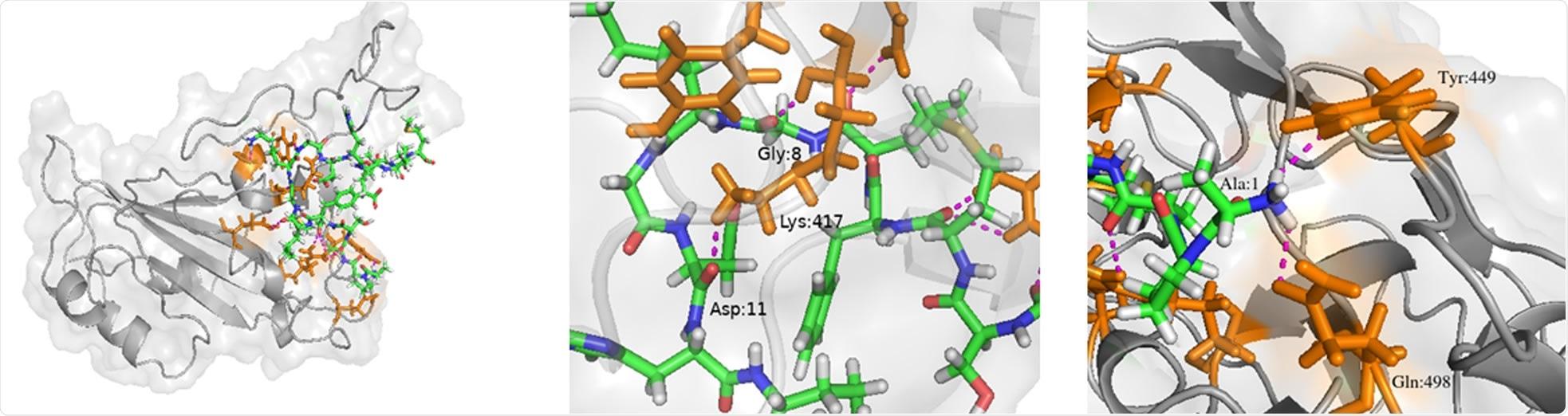 Complejo péptido 7-SARS-CoV-2 RBD.  Se resaltan el Péptido 7 (regaliz verde, azul y blanco), RBD (gris) y los residuos en RBD que interactúan con el Péptido 7 (regaliz naranja).  (b) Enlace de hidrógeno entre el péptido 7 Gly8 y Asp11 con RBD Lys417.  (c) Enlace de hidrógeno entre Ala1 y Tyr449.